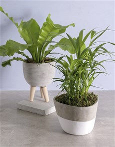 plants: Stunning Office Pot Plant!