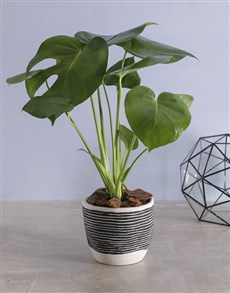 gifts: Monster Leaf in cement Pot!