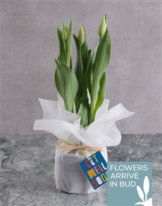 plants: Get Well Soon Tulips!