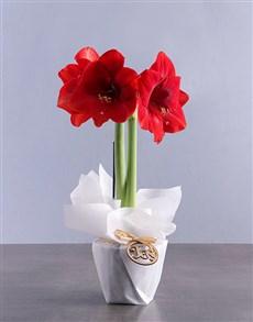 plants: Festive Joy Amaryllis !