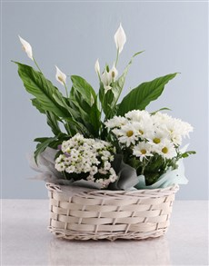 plants: Vibrant Chrysanthemum Blooms!