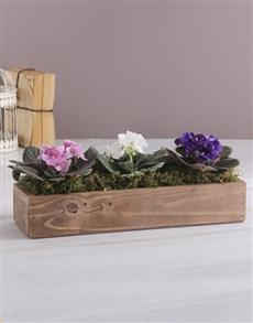plants: African Violet Blooms!