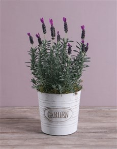 plants: Serene Lavender in Meadow Garden Bucket!