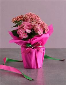 plants: Pink Blooms Hydrangea!