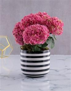 flowers: Pink Variety Hydrangea!