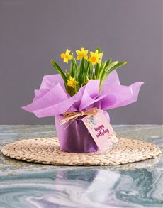 plants: Happy Birthday Yellow Daffodils In Lilac Wrapping!