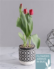 plants: Red Tulip in Tribal Pot!