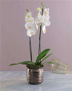 plants: Elegant White Potted Orchid!