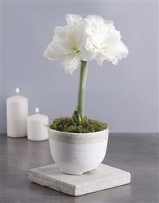 flowers: Elegant Amaryllis Plant!