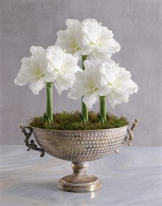 plants: Amaryllis in Gold Chalice Bowl!