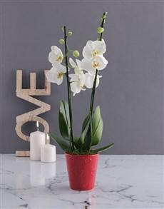 plants: White Orchid Love!