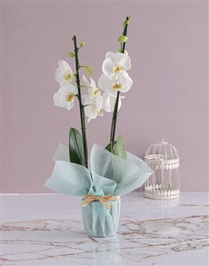 plants: Two Stemmed Orchid In Blue!