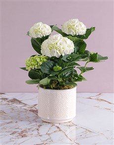 plants: Hydrangeas In Glazed Cream Pot!