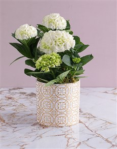 plants: Hydrangeas In Patterned Pot!