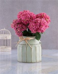 plants: Pink Blossoms Hydrangea!