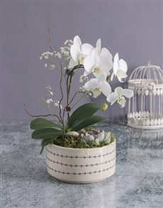 plants: Midi Orchid Garden In A Pot!