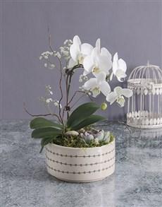 plants: Midi Orchid Garden In A Pot!