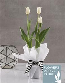 flowers: Elegant White Tulip Plant!