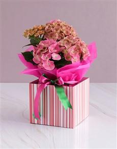 flowers: Pink Hydrangea Gift Arrangement!