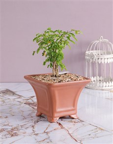 plants: Acacia Burkei Bonsai in Ceramic Pot!
