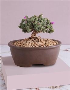gifts: Trichodiadema Bonsai in Ceramic Pot!