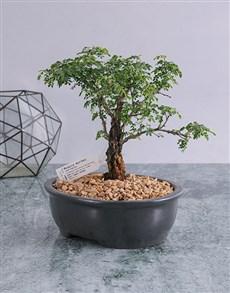 plants: Ficus Ginseng Bonsai in Black Ceramic Pot!