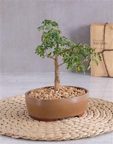 plants: Ficus Ginseng Bonsai in Brown Ceramic Pot!