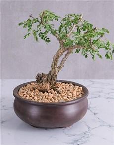 plants: Peaceful Bonsai in Ceramic Pot!