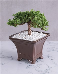 plants: Juniperus Procumbens Bonsai!