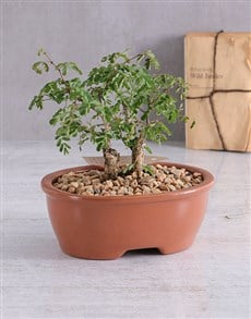 plants: Acacia Burkei Bonsai in Brown Ceramic Pot!