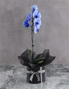 flowers: Limited Edition Blue Orchid In Round Box!