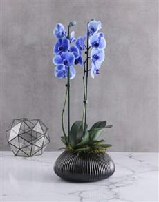 flowers: Dual Rare Blue Orchids In Gunmetal Vase!
