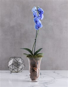 plants: Rare Blue Phalaenopsis Orchid In Hurricane Vase!