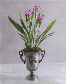 plants: Purple Curcuma in Silver Chalice!