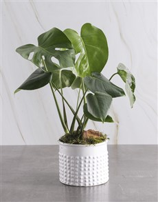 gifts: Monster Leaf in Textured White Pot!