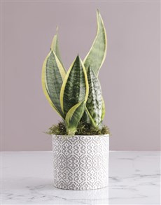 gifts: Lush Sanseveria Plant!