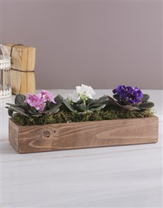 flowers: African Violet Trio Crate!