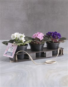 plants: Thank Trio Of African Violets!