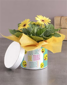 plants: Tough Cookie Gerbera Plant Gift In Hatbox!