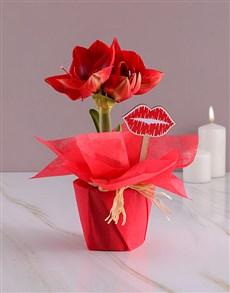 flowers: Smooches Amaryllis!