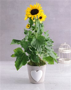 flowers: Classic Sunflower Pot!