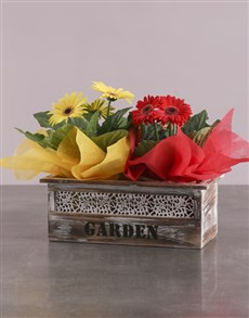 plants: Gerbera Fun Plant Gift In Wooden Planter!