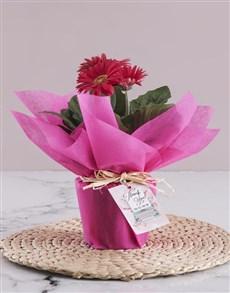 plants: Pink Gerbera Plant Gift!