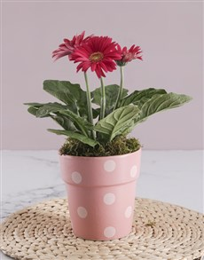 flowers: Mini Gerbera Plant Gift In Pot!
