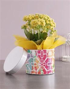 plants: Sunny Kalanchoe Hatbox!