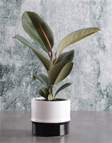 gifts: Ficus Robusta in Two Toned Ceramic Pot!