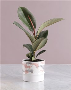 flowers: Ficus Robusta in Marble Pink Pot!