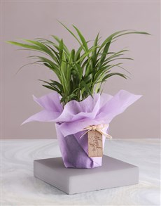 plants: Thank You Areca Bamboo Wrapped in Lilac!