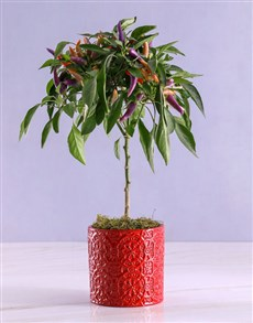 plants: Potted Chilli Plant in Embossed Red Pot!