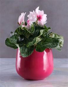 plants: Cerise Cyclamen in Purple Pot!